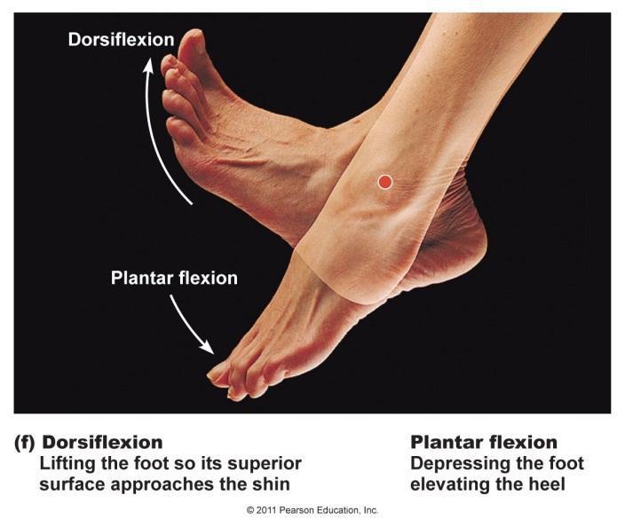 dorsiflexion
