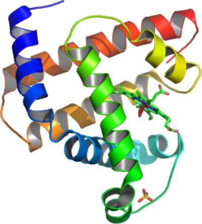 La mioglobina, una proteína necesaria